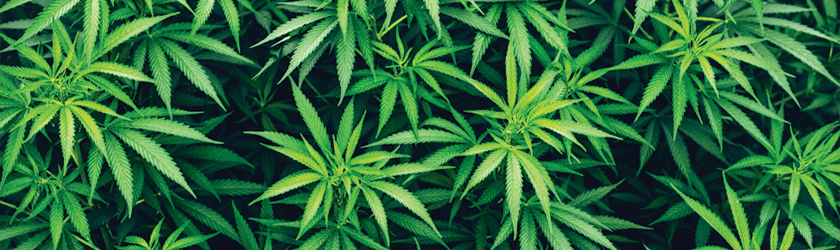 Illegal Cultivation Grow Houses